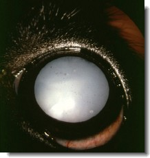 A Dog's Cataract