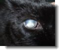 cataract in cats